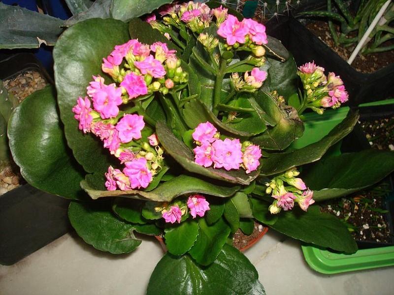 photo  kalanchoe blossfeldiana cv  calandiva