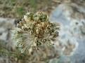 Allium chamaespathum