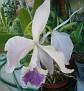Cattleya labiata coerulea 09 2011   (6)