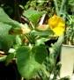 Uncarina roeoesliana (3)