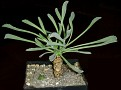 Othonna lepidocaulis