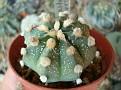 Astrophytum asterias x capricorne