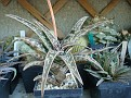 Aloe 'Jade Temple'