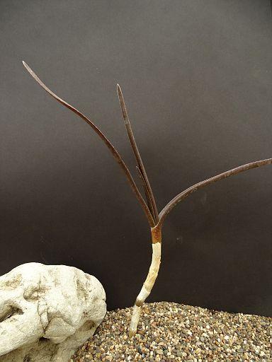 Aloe arborescens fa. variegata