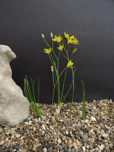 Allium flavum