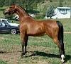 HA WILD FIRE #484869 (SH Bask Shadow x RL Starfire, by HV Fire Beau) 1991 bay mare