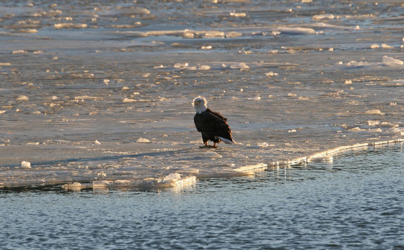 Bald Eagle on the Ice