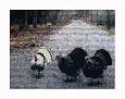 The Three Turkeys @2009 R valerie jagiello