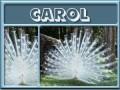 carol-gailz0304-albino peacock.jpg