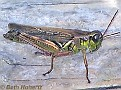 Grasshopper003