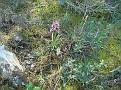 Neotinea maculata + Dactylorhiza romana