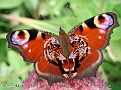 butterflies peacock 006