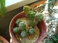Maihueniopsis bonnieae