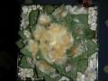 Ariocarpus fissuratus v. intermedius ( Ariocarpus intermedius )