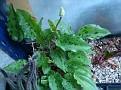 Drimiopsis maculata