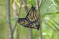 Mating Pair of Monarchs