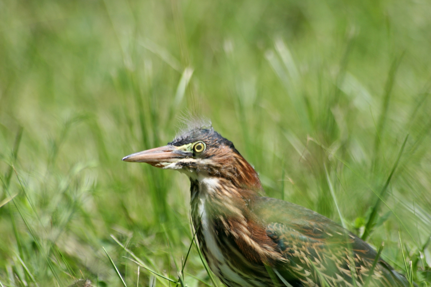Immature Green Heron #4
