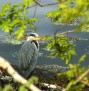 1313 Heron by the lochside