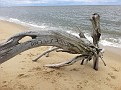 Not Driftwood...  This is what is left of a tree that grew here and was lost to beach erosion.