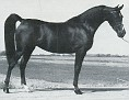 ARABASK #77042 (*Bask++ x *Gawra, by Doktryner) 1971 bay mare bred by James McBride