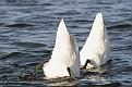 Spring Mute Swans - Tipping