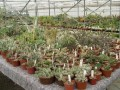 Opuntia aa  collection