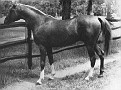 GALIMAR #3166 (Gaysar x Rageyma, by Mirage) 1945-1969 chestnut stallion bred by Daniel C Gainey; sired 82 registered purebreds